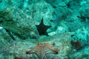 San Carlos sea stars
