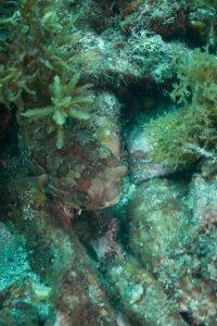 San Carlos balloonfish